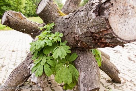 Ein K wie Kretschmann Baum am Fasanenhof - Mitte 2013 - Eine Kastanie die NICHT aufgibt...